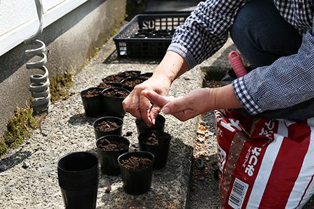 ゴーヤとラベンダーの種植え